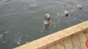 Seals in the harbour. They look cute but can be quite aggressive.