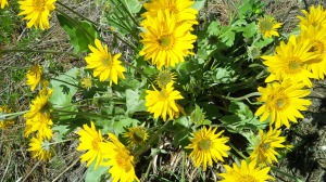 And yellow. These beautiful daisy-like wild- flowers are everywhere.