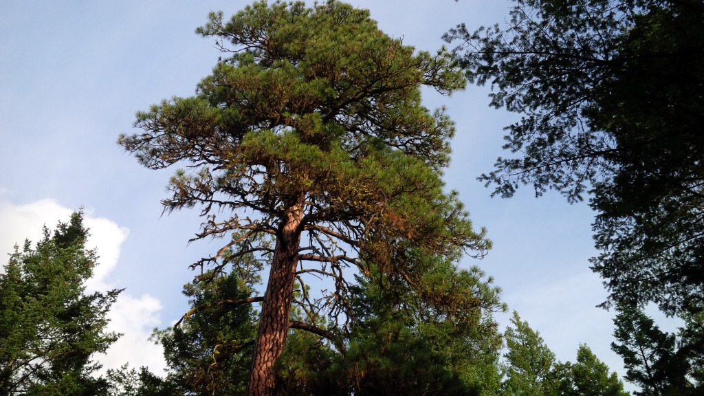 There's a formula for figuring out the age of a pine. This one's about the same age as the U.S.